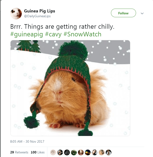 Guinea pig - Guinea Pig Lips Follow @DailyGuineaLips Brrr. Things are getting rather chilly #guineapig #cavy #SnowWatch 8:05 AM -30 Nov 2017 29 Retweets 100 Likes