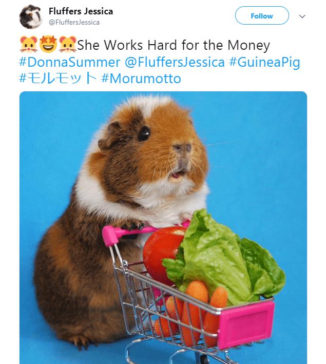 Guinea pig - Fluffers Jessica Follow @FluffersJessica She Works Hard for the Money #DonnaSummer @FluffersJessica #GuineaPig #EJLEyh #Morumotto