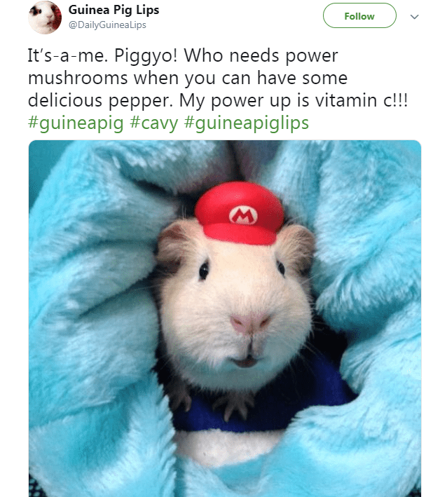 Hamster - Guinea Pig Lips Follow @DailyGuineaLips It's a-me. Piggyo! Who needs power mushrooms when you can have some delicious pepper. My power up is vitamin c!!! #guineapig #cavy #guineapiglips
