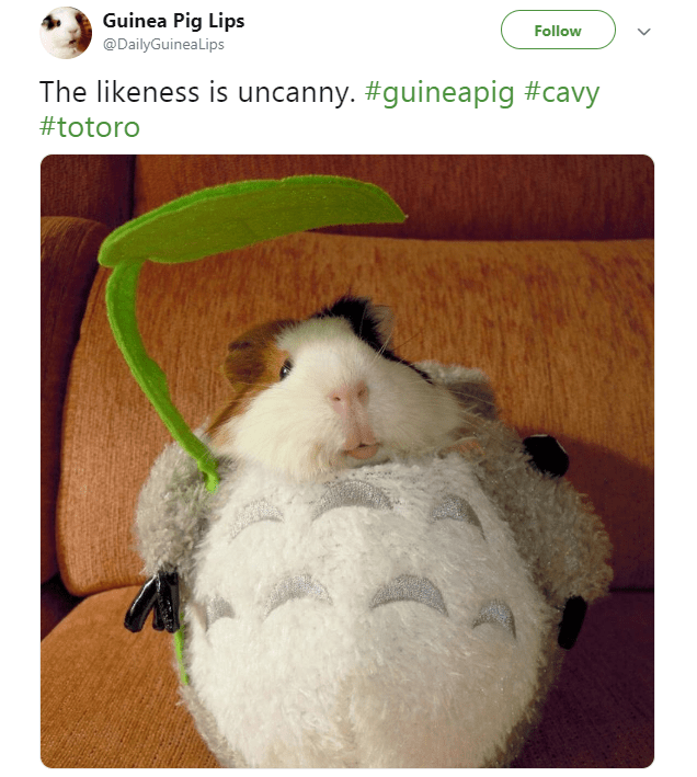Guinea pig - Guinea Pig Lips Follow @DailyGuineaLips The likeness is uncanny. #guineapig #cavy #totoro