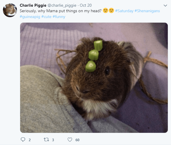 Guinea pig - Charlie Piggie @charlie_piggie Oct 20 Seriously, why Mama put things on my head? #Saturday #Shenanigans #guineapig #cute #funny t 3 2 60