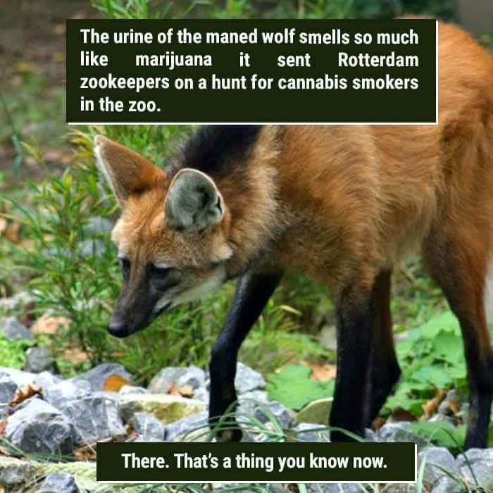 funny animal fact about a wolf that when it pees it smell like marijuana