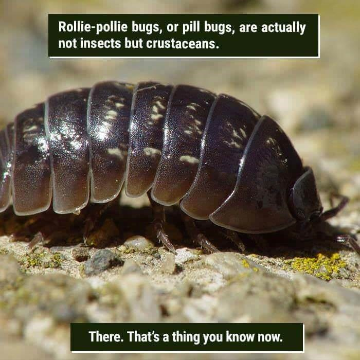 funny animal fact about rollie-pollie bugs that are crustaceans