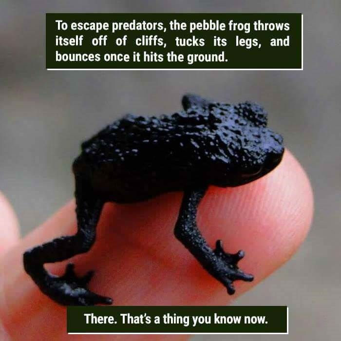 funny animal fact about a pebble frog