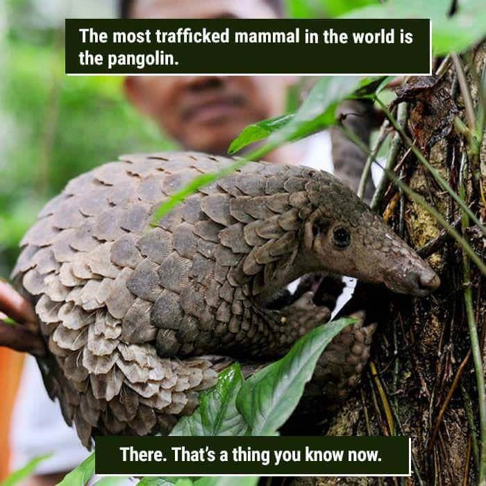 funny animal fact about a pangolin being the most trafficked animal in the world