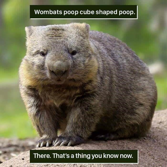 funny animal fact about a Wombats poop shape