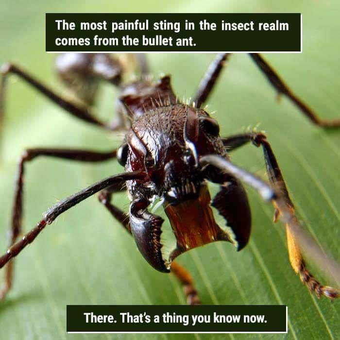 funny animal fact about a Bullet ant sting
