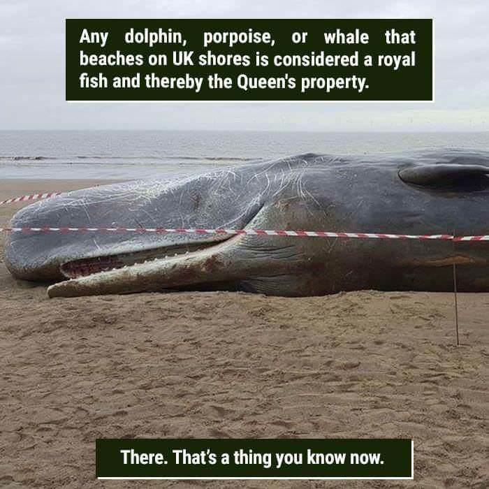 funny animal fact about any fish that goes onto UK shores is considered the queens property