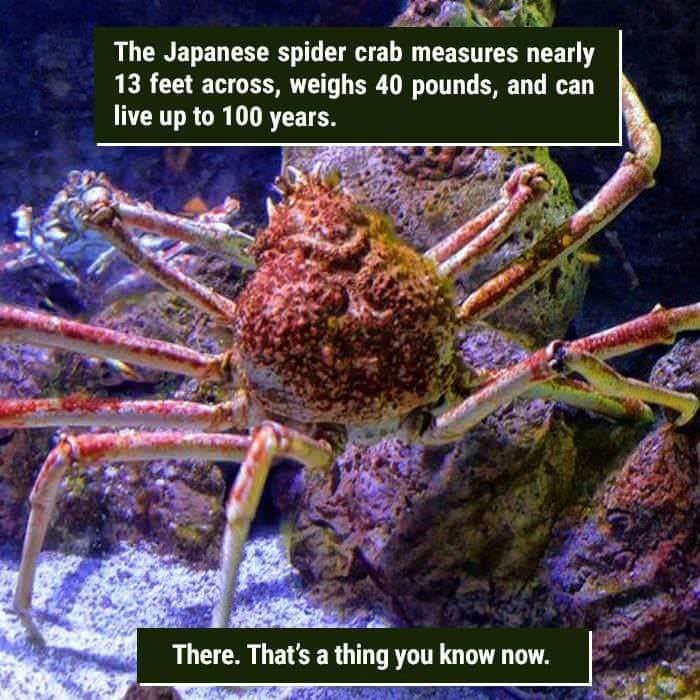 funny animal fact about the Japanese spider crab and their long life