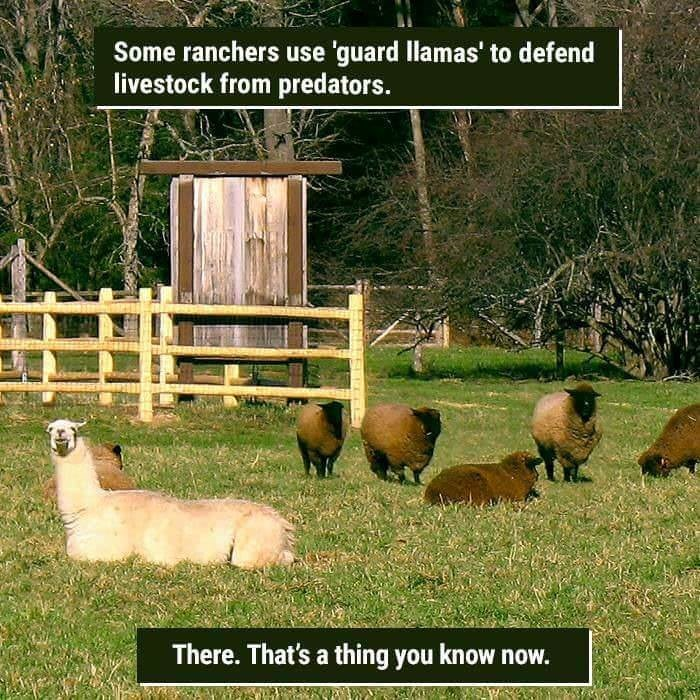 funny animal fact about ranchers that use llamas to guard livestock