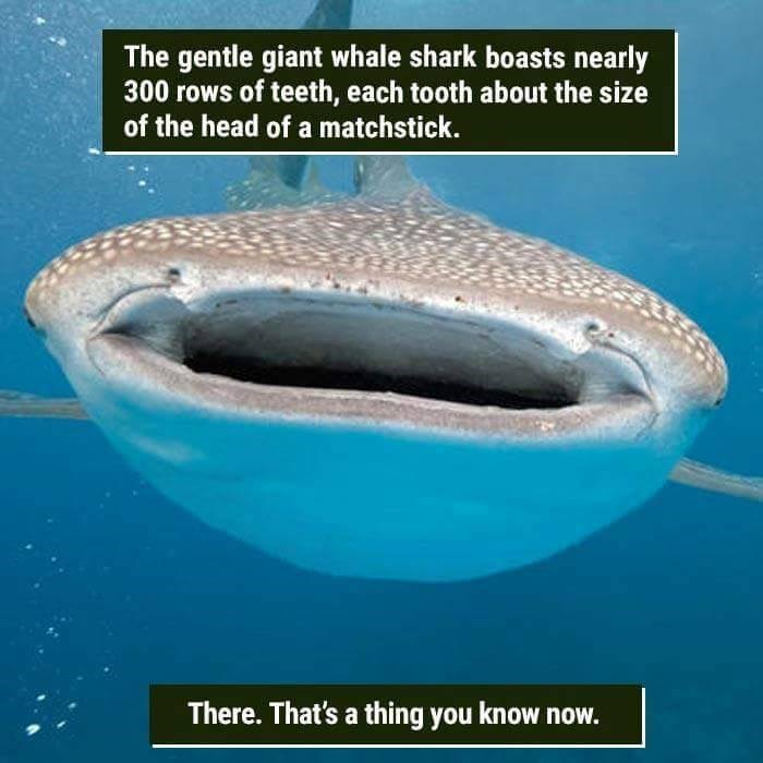 funny animal fact about the gentle giants teeth