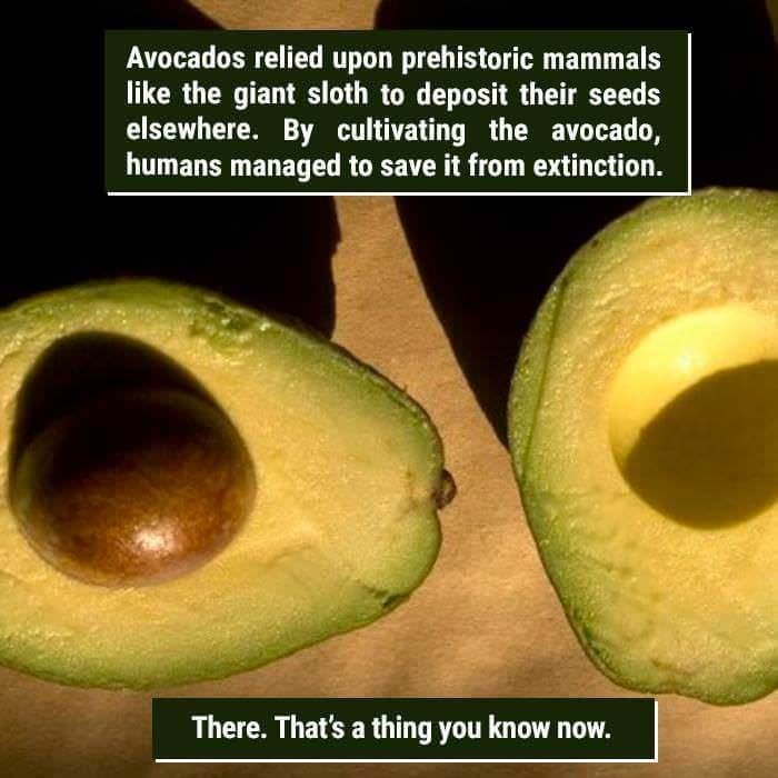 funny animal fact about avocados and how they were cultivated