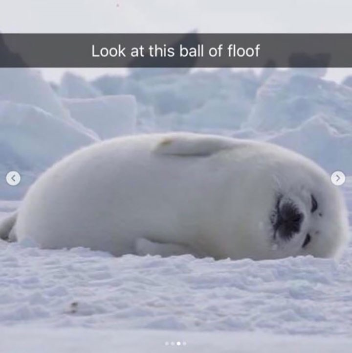 cute snapchat of furry baby seal laying on its side looking happy