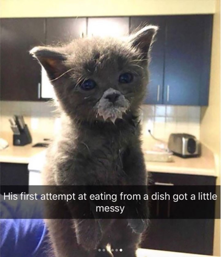 funny snapchat of kitten with snout covered in milk after first attempt at eating from a dish