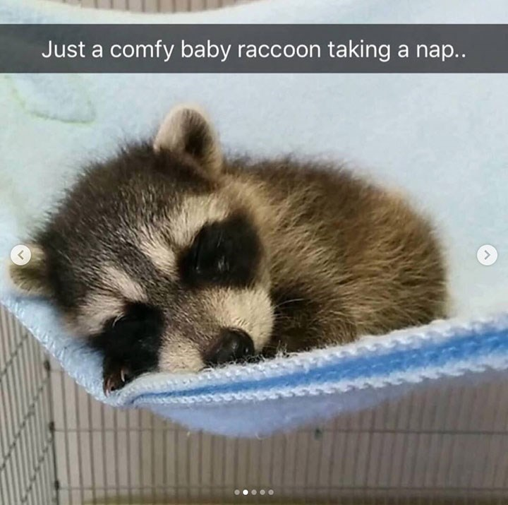 cute snapchat of baby raccoon snuggled into itself as it sleeps
