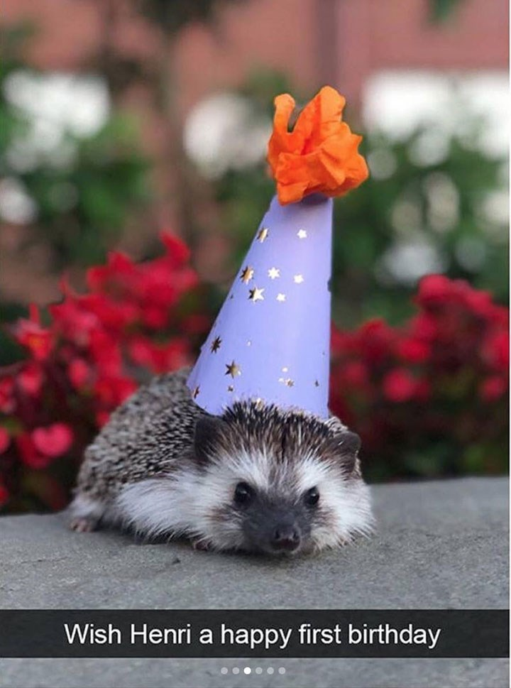 funny snapchat of hedgehog wearing a party hat on its birthday