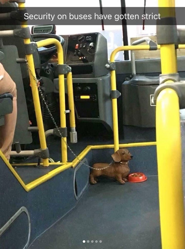 cute snapchat of very small dog appearing to guard the entrance to the bus