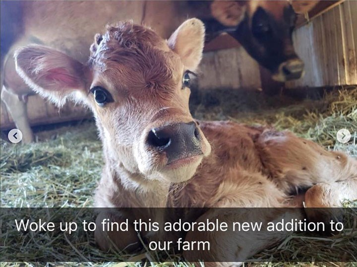 cute snapchat of cow calf looking at the camera with its mother in the background
