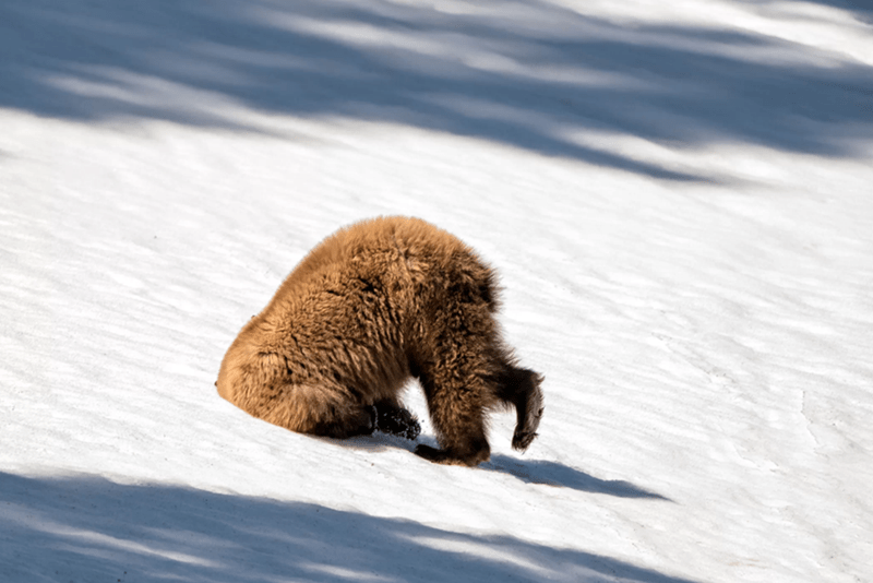 bear with its head buried in snow