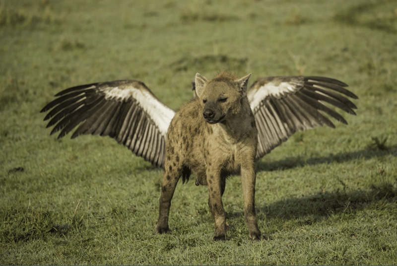 hyena standing in front of bird and looking like it has wings
