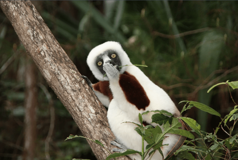 lemur covering its mouth with a hand