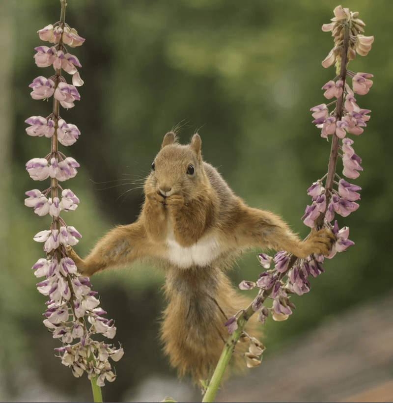 squirrel balancing between two flower stems