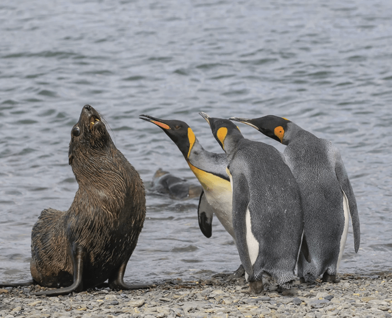 three penguins leaning close to a seal