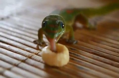 picture of lizard sticking its long tongue out to taste a Cheerio