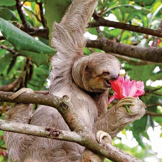 cute animal picture of sloth eating flower