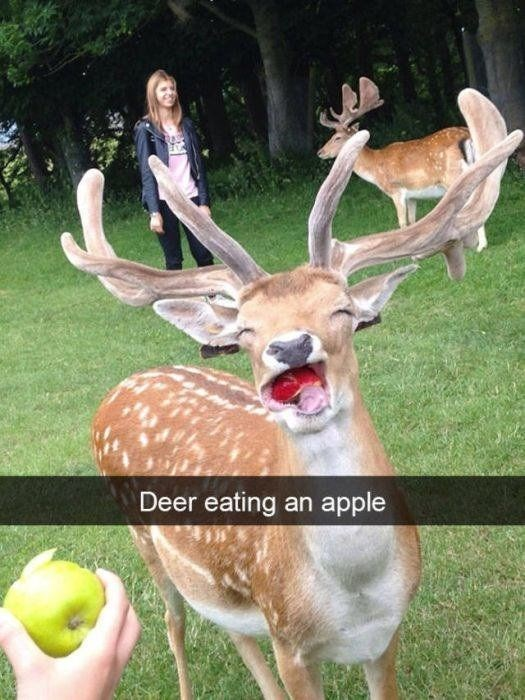 cute animal picture of deer biting through an apple with its eyes closed in delight