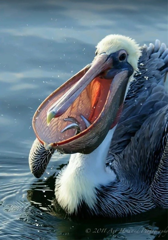 cute animal picture of pelican with its beak open