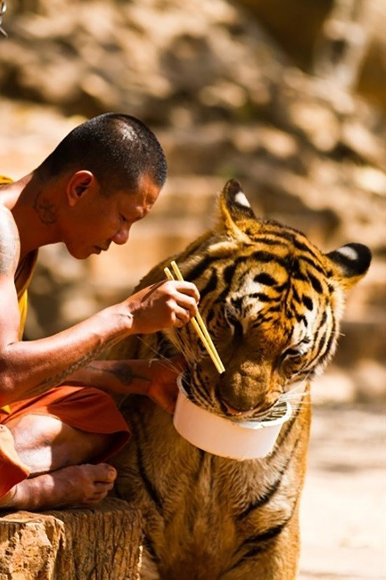 cute animal picture of monk feeding tiger out of his bowl of food