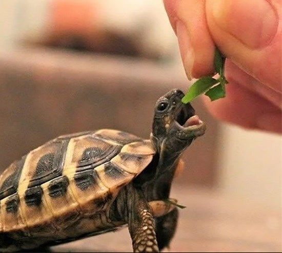cute animal picture of small turtle being fed a green leaf by a human hand