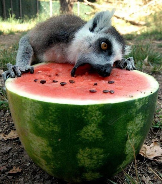 cute animal picture of lemur laying its face over half of a watermelon