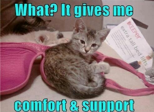funny picture of kitten snuggled inside bra cup to get support