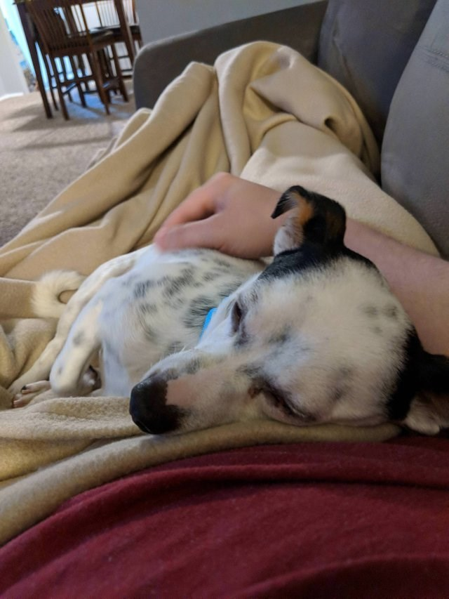 cute animal picture of dog wrapped in blanket laying on owner's lap