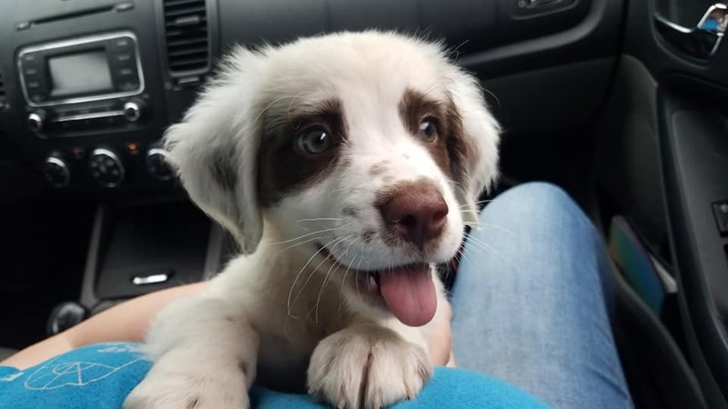 cute animal picture of puppy with its tongue out climbing over owner's lap during car ride