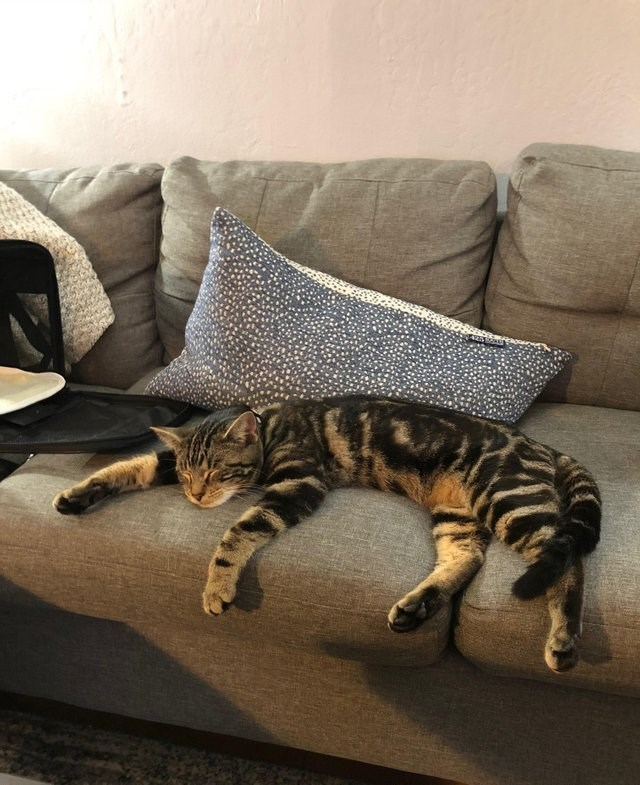 cute animal picture of striped cat sleeping sprawled over the sofa