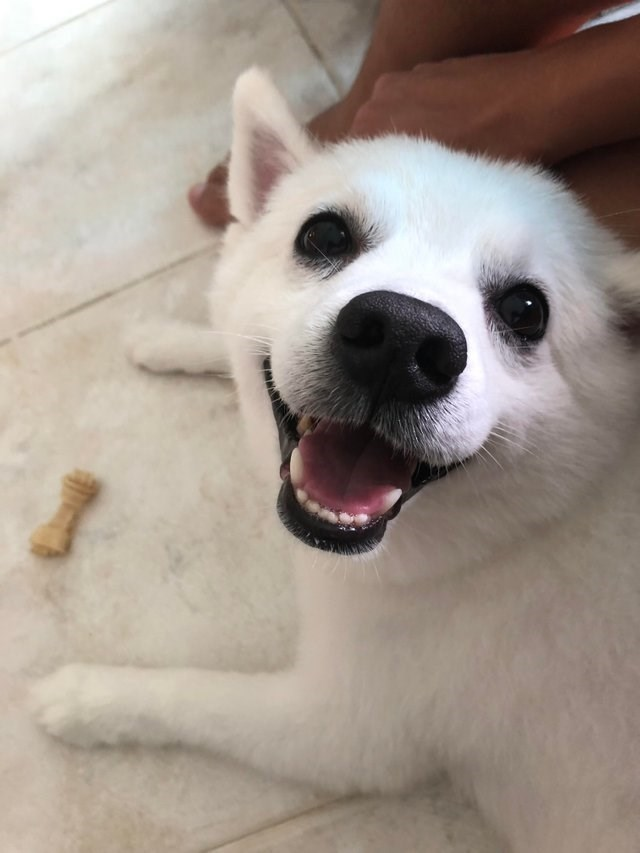 cute animal picture of white dog looking up at camera with its mouth open