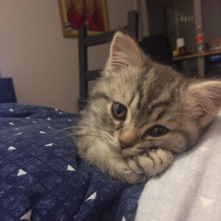 cute animal picture of kitten looking at camera with head leaning over its paws