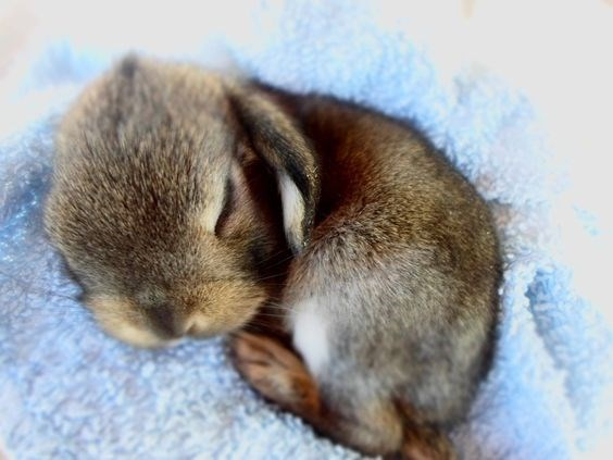 brown rabbit sleeping on a blanket
