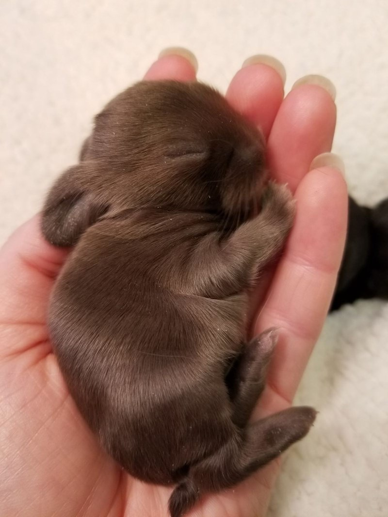 chocolate brown bunny sleeping in a woman's hand
