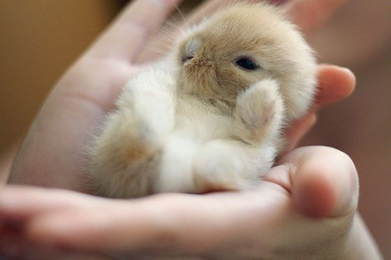 golden bunny laying between a persons hands