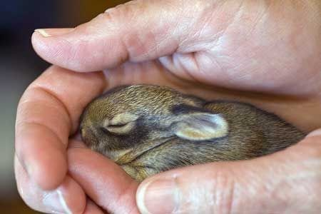 brown bunny sleeping snugly in a persons hands