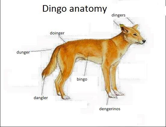 meme about a Dingos anatomy