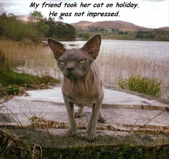 Vertebrate - My friend took her cat on holiday He was not impressed