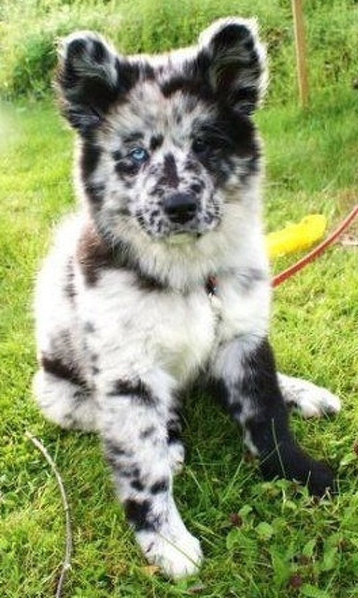 fluffy dog with white and black markings and different colored eyes