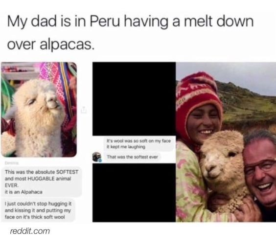 pictures of dad taking selfies with alpacas and getting excited by how soft they are