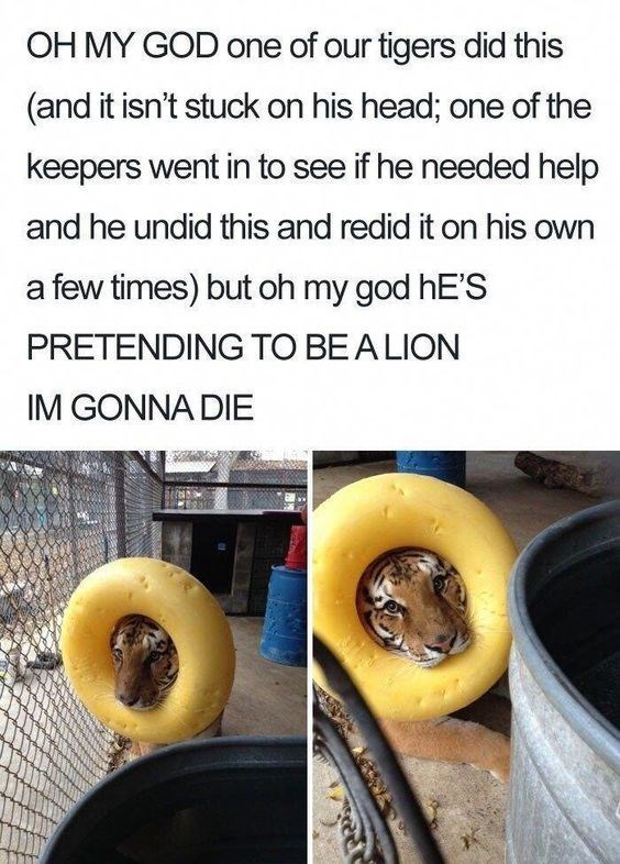 pictures of tiger wearing round toy around its head as if it's a lion's mane