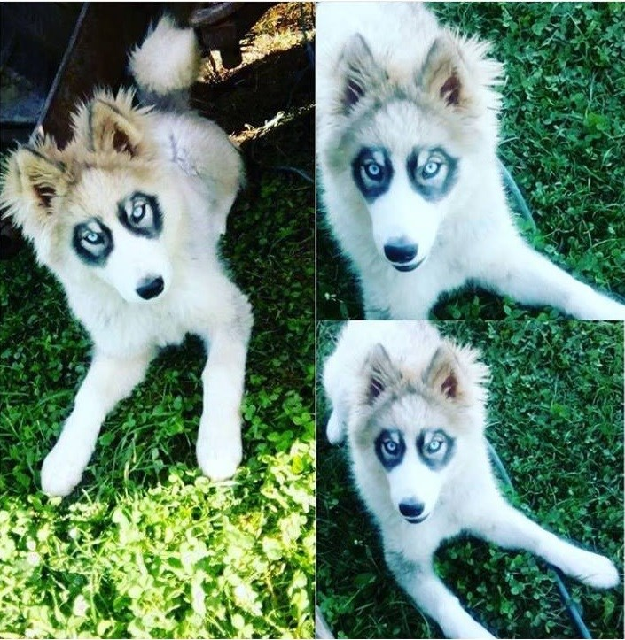picture of white dog with black markings around eyes resembling glasses